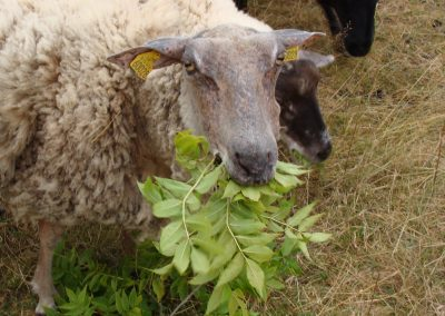 mouton_broutant_feuilles_frene